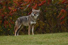 Eastern Coyote (_talon263_) Tags: coyote coywolf animal nature wildlife outdoor fall autumn ontario canada