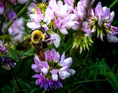 Go Getter (Portraying Life, LLC) Tags: da3004 hd14tc k1 michigan pentax unitedstates bee closecrop flower handheld nativelighting
