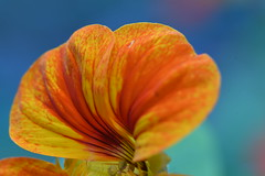 Fleur d'automne (pascalhubert1966) Tags: ngc d750 nikon nikkor nikond750 nikoniste orange blue bleu wow wowus flower 105mm pétale pistil jaune yellow bokeh m tière texture rouge red mouvement