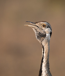 Black Bellied Bustard Portrait