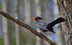 Blackbird. The best singer. ♥ #Finland #Spring (L.Lahtinen (nature photography)) Tags: blackbird finland spring songbird nature birdlife wildlife naturephotography nikond3200 nikkor55300mm nikkor birdonthetree mustarastas suomi kevät laululintu lintu bokeh commonblackbird birdonabranch luonto fauna beauty specanimal 7dwf vantaa pretty dof