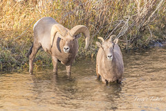 Bighorn ram and ewe in the South Platte River