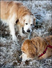 Remembrance of Nick & Rex (Eline Lyng) Tags: winter outside larkollen norway stick play brothers golden retriever goldenretriever iphone allsaintsday rememberance littledoglaughednoiret