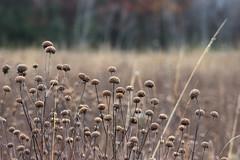 Wild Bergamot Seed Heads (U.S. Fish and Wildlife Service - Midwest Region) Tags: fall november 2017 minnesota mn plant plants landscape landscapes wildbergamot seed seeds nativeplant flower flowers nature