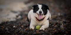 45/52 A Study of Elk (JJFET) Tags: 45 52 weeks for dogs elk border collie ball dog