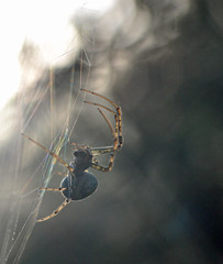 Metellina female (conall..) Tags: backlit backlight intothelight refraction colour scatter light wavelength dependent bands silk web spider