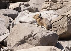 Pika - little rabbit/big mouse (sbuckinghamnj) Tags: pika mammal grandtetonnationalpark grandteton wyoming rodent