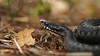 Vipera berus (OttoB-C) Tags: vipera berus viper adder european viperidae huggorm