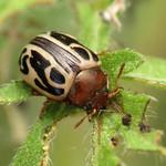 Zygogramma Leaf Beetle thumbnail