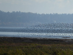 Dunlins (misiekmintus) Tags: vancouver bc britishcolumbia canada pacificnorthwest nature natur naturaleza przyroda birds birding birdwatching bird dunlin calidrisalpina