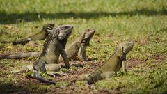 Iguanas in Aruba (Flyte.) Tags: iguana leguan lizard animal cute aruba carribean travel getoutside travelling centralamerica dutch iguanas leguane focus sigma nikon nikond5200 nomadcruise