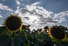 sunflowers (alain01789) Tags: tournesols fleurs flowers nature ciel sky sunflowers sun soleil velvia