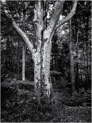 The Guardian Tree... (Ody on the mount) Tags: anlässe bäume em5ii fototour mzuiko918 omd olympus pflanzen schwäbischealb wald bw monochrome sw tree woods metzingen badenwürttemberg deutschland de