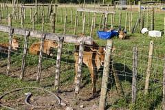 Projet dans une ferme organique - GlobAlong-min (infoglobalong) Tags: ferme biologique durable agriculture lait production vache globalong volontariat afrique