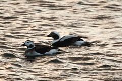clangula hyemalis (Moni'cam ツ) Tags: ducks clangulahyemalis