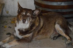 DSC_1783_dogs1017 (beken) Tags: summerhillwinery kelownabc