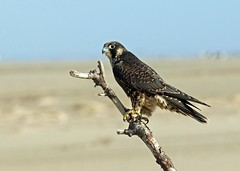 Nauset outer beach, Peregrine (petertrull) Tags: elements