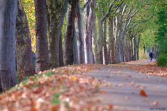 Balade sur les bords du canal du midi (jpto_55) Tags: automne berge allée canaldumidi hautegaronne france bokeh fuji fujifilm xe1 omlens om135mmf28 platane ngc