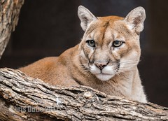 DSC06547 (montusurf) Tags: puma mountain lion cougar cat feline predator henry doorly zoo omaha nebraska zoosofnorthamerica
