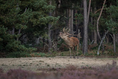 R17_5913 (ronald groenendijk) Tags: cronaldgroenendijk 2017 cervuselaphus rgflickrrg bronst deer edelhert groenendijk hogeveluwe holland nature natuur natuurfotografie netherlands outdoor reddeer ronaldgroenendijk wildlife