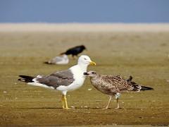 Lesser Black-backed Gull with young (Corine Bliek) Tags: larusfuscus bird birds meeuwen gulls young beach strand nature natuur wildlife begging food feeding eten