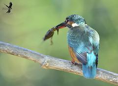 MARTÍN PESCADOR HEMBRA 04 (JuanMa-Zafra) Tags: martínpescador alcedoatthis pájaro aves extremadura zafra rivera posadero trípode nikon sigma150600mm sigma hide d7100