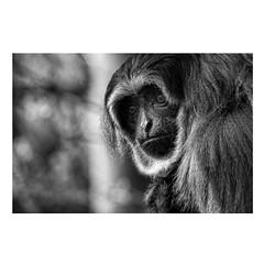 Monkey (Blackcat71) Tags: haplorhine primate bokeh dof eyes fur furry black white portrait monochrome bw blur monkey ape hair gibbon hanuman mammal grain