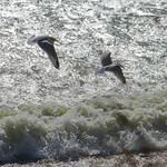 Seagulls above the waves thumbnail