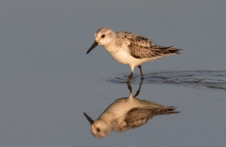 Sanderling at first light