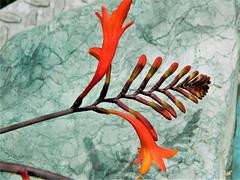 A reminder of summer past (petermorton42) Tags: pond flower rock garden london crocosmialucifer crocosmia