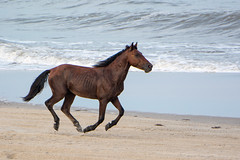 A wild horse running down the beach by Frank Oller - OBX Family Vacation 2017 - Corolla, NC 2017.0905-029