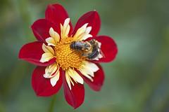 Competition (ChristopherLeeHewitt) Tags: dahlia bee insect pollen petals bloom blossom bloomingart bees battle red dof nikon nature macro nikond810 nikkor105mmmacro