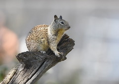 California Ground Squirrel (Christopher Lindsey) Tags: spermophilusbeecheyi groundsquirrel californiagroundsquirrel california pinnacles nationalpark mammal sanbenitocounty