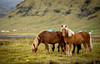 more Icelandic Horses, Iceland (mpmark) Tags: icelandichorses iceland 135mmf2l wildlife horses countryside nature