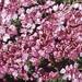 Silene acaulis. Moss campion. Massed flowers. Gross Glockner