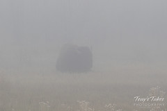 Bison bull in the fog