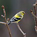 Goldfinch-50086