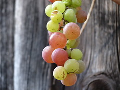 IMG_3799 (germancute) Tags: nature outdoor fruit frucht trauben grapes