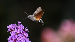 Taubenschwänzchen am Sommerflieder (karinrogmann) Tags: taubenschwänzchen schmetterling schwärmer hummingbirdhawkmoth butterfly sfingedelgalio lepidottero nikonafszoom70300mm