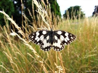 Butterfly 1476