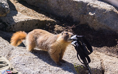 Hungry Hungry Marmot (K Ivanov) Tags: marmot sequoia nationalpark hungry rodent california spring