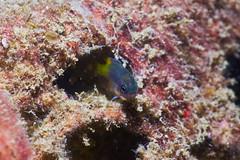 Little Demoiselle (Gomen S) Tags: macro wildlife nature underwater ocean cmc sony sonyflickraward rx100v asia tropical 2017 autumn hongkong hk fish night
