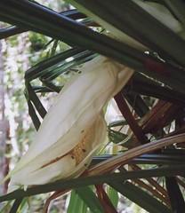 pandanus.monticola.male-inflorescence.3 (dave.kimble) Tags: pandanus pandanusmonticola pandanaceae benstonea benstoneamonticola urchinfruitedpandan scrubbreadfruit screwpine screwpalm arfp qrfp tropicalarf lowlandarf uplandarf understoreyarfp arfflowers whitearfflowers
