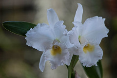 Big Whites & Bokeh (ACEZandEIGHTZ) Tags: plant orchid orchidea closeup bokeh fragrant jonesscully white yellowthroat nikon d3200 saariysqualitypictures cattleya francistcau floral floralia