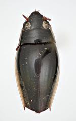 Orectochilus laticinctus Regimbart, 1907 (Biological Museum, Lund University: Entomology) Tags: coleoptera regimbart gyrinidae gyrininae orectochilus laticinctus mzlutype05692 taxonomy:binomial=orectochiluslaticinctus