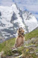 Glocknerkönig (photographie by alex) Tags: grosglockner murmeltier marmot glacier alps austria