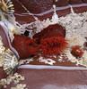anemones 1 (smallritual) Tags: caerfai wales beach seaanemone beadlet rockpool