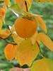 Kaki Frucht - Diospyros kaki (steffi's) Tags: rasponi garten gartendervergessenenkräuter giardinorasponi giardinodelleerbedimenticate grünanlage kaki diospyroskaki