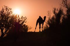 Rajasthan - Jaisalmer - Desert Safari with Camels-36