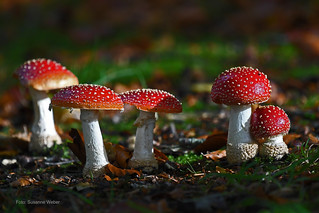 Gruppentreffen - Fliegenpilze - Mushrooms meetings